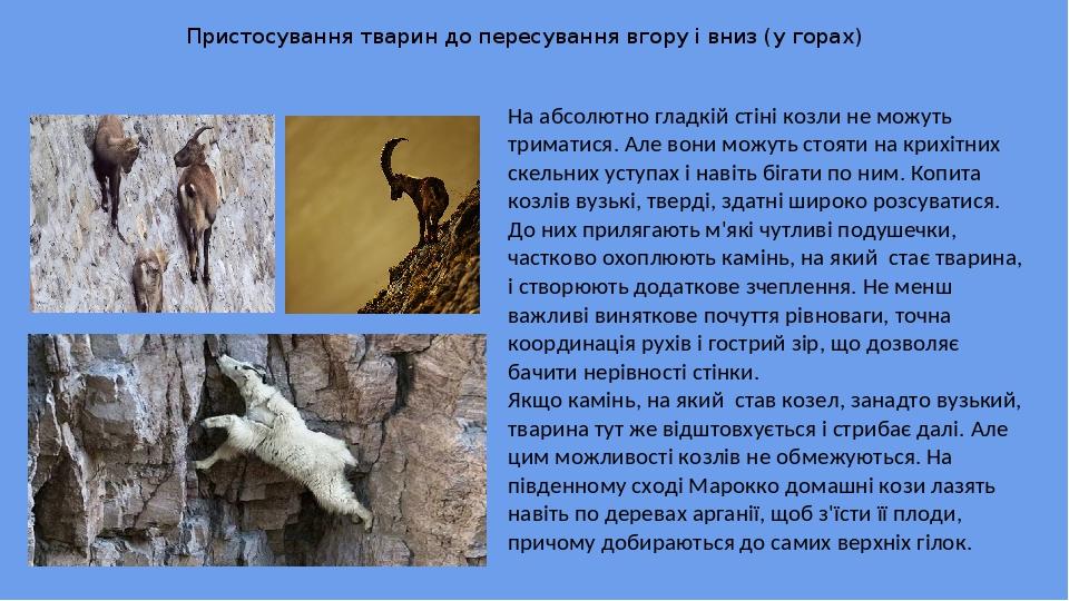 Пристосування тварин до пересування вгору і вниз (у горах) На абсолютно гладкій стіні козли не можуть триматися. Але вони можуть стояти на крихітни...