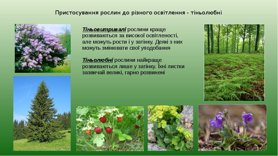 Пристосування рослин до різного освітлення - тіньолюбні Тіньовитривалі рослини краще розвиваються за високої освітленості, але можуть рости і у зат...